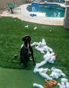 Boxer dogs in Tempe AZ